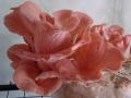 rosensaitling